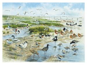 Illustratie vogels op Balgzand
