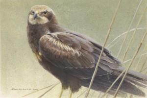 Schilderij Bruine Kiekendief