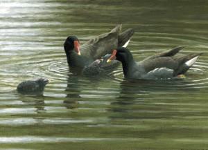 Schilderij waterhoen familie