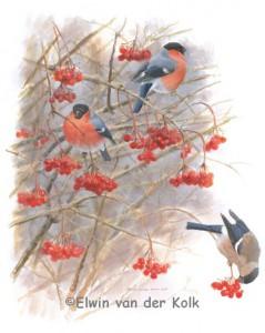 Illustratie goudvinken in gelderse roos