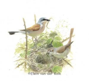 Illustratie Grauwe klauwier nest