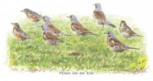 Illustratie kramsvogels en koperwieken