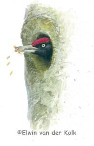 Illustratie zwarte specht nest