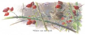 Illustratie winterkoning en rozebottels